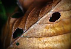 Holes (sea turtle) Tags: seattle capitolhill roanoke roanokepark park autumn fall november color colors leaf leaves detail details decay closeup macro raynox canon hole holes