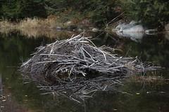 Beaver lodge (RubénRamosBlanco) Tags: naturaleza nature animales wildlife mamíferos mammals northamericanbeaver castorcanadensis castoramericano lodge choza beaverlodge beaverpond otoño fall whitemountain nh usa