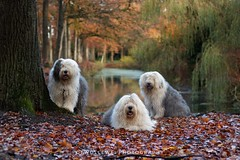 "Autumn portrait "" explore "" (dewollewei) Tags: explore explored exploreddogs oes bobtail oldenglishsheepdog sheepdogs autumn fall herfst ommen hetlear woods dogs colors white english dxo canon7dmark2 canon 50mm 7d herbst"
