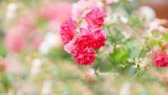 Pink Rose - 7758 (✵ΨᗩSᗰIᘉᗴ HᗴᘉS✵93 000 000 THXS) Tags: canon canonrp sigma sigmaart pink rose flora flower belgium europa aaa namuroise look photo friends be yasminehens interest eu fr party greatphotographers lanamuroise flickering