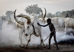 Mundari tribe boy taking care of the long horns cows in the camp, Central Equatoria, Terekeka, South Sudan (Eric Lafforgue) Tags: africa agriculture animals bonfire boys camp cattle centralequatoria child children colourimage cow cows dailylife day domesticanimals eastcentralafrica fulllength herd herder horizontal horns indigenousculture livestock longhorns mundari nomad oneboyonly oneperson outdoors pastoralist ruralscene smoke southsudan ssdn3762 terekeka travel tribal tribe unrecognizableperson
