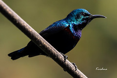 Purple Sunbird - Male (krishna.mgs) Tags: purplesunbirdmale birds aves animals fauna portrait closeup nature