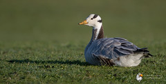 Bar Headed Goose (Simon Stobart) Tags: bar headed goose anser indicus grass resting north east england uk