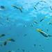 Underwater photo. Coral reef. Scorpaenidae (scorpionfish)