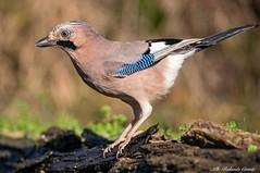 Ghiandaia _013 (Rolando CRINITI) Tags: ghiandaia uccelli uccello birds ornitologia avifauna castellettomerli natura