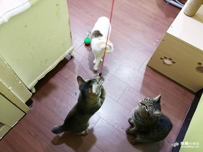 【新北蘆洲】貓男│不限時咖啡館│貓咪中途之家 @魚樂分享誌