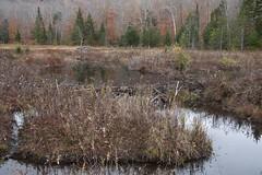 Beaver landscapes (RubénRamosBlanco) Tags: naturaleza nature paisaje landscape animales wildlife beaver castor damm presa beaverpond beaverdamm otoño fall whitemountain nh usa