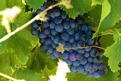 P1150125 (alainazer) Tags: ansouis vaucluse provence france raisin uva uvas grape vigne vine fruit
