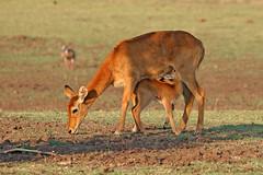 Puku ♀ Kobus vardonii (Roger Wasley) Tags: puku kobusvardonii animal antelope zambia south luangwa national park africa african mammal wildlife river