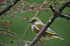 verdier d'Europe / Chloris chloris 19E_5698 (Bernard Fabbro) Tags: chloris verdier deurope oise european greenfinch au bird
