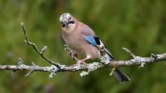 DSC_8955 Geai (sylvette.T) Tags: animal oiseau bird 2019 geai jay coth5