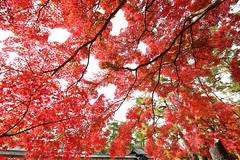 Pure red leaves (Teruhide Tomori) Tags: 京都 秋 モミジ 紅葉 庭園 京都御所 京都御苑 日本 関西 近畿 樹木 風景 garden tree autumn japan japon kyoto red landscape kyotogyoen kyotoimperialgarden kyotogosho kyotoimperialpalace maple kayede morning