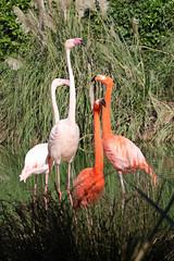 Pretty Flamingos (Roy Lowry) Tags: greaterflamingo caribbeanflamingo phoenicopterusroseus phoenicopterusruber bugibba