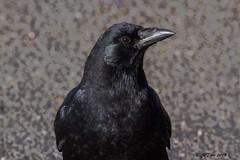 IMG_2391 portrait of a crow (starc283) Tags: starc283 bird birding birds nature naturesfinest naturewatcher flickr flicker forest