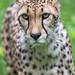 Close grumpy cheetah
