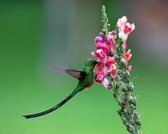 Agile Aviator (pdxsafariguy) Tags: lesbianuna hummingbird trainbearer green wildlife bird peru flower animal colorful andes southamerica tail blacktailedtrainbearer beak feeding feathers ollantaytambo urubambaprovince tomschwabel flying motion hovering