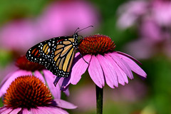 MonarchPurpleConeFlower1Small (Rich Mayer Photography) Tags: monarch butterfly butterflies insect insects animal animals wild life wildlife nature flower flowers nikon