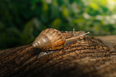 wandering slowly (Lr Home) Tags: snails snail sel30m35 shell wood rain a6000 sonya6000