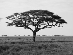 THE ACACIA (eliewolfphotography) Tags: bw landscapes landscape acacia tree trees animals african nature naturelovers nikon naturephotography natgeo naturephotographer safari serengeti serengetinationalpark plants monochrome