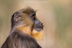 Profil de Mandrill (Nadège Gascon) Tags: ngphotographe animalphotography portrait canon animaux animal mandrill monkey singe primate