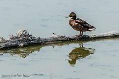 PATO (juan carlos luna monfort) Tags: ave pajaro tronco reflejos bird birding paz calma tranquilidad deltadel´ebre rietvell nikond810 sigma150500