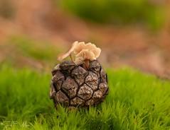 Micro Mushrooms (SarahW66) Tags: mushroom fungi mushrooms britishmushroom britishnature naturalbokeh naturephotography natural sigmanature bokeh bokehphotography macrolens macrophotography sigma sigma105mm canoneos canon80d tiny small