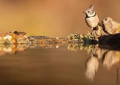 Herrerillo Capuchino (Lophophanes cristatus) (Elprimodeheman) Tags: de reflejos herrerillocapuchinolophophanescristatus passeriformes aves animales fotografia lugares hide nature wildlife vogel bird