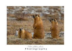 The long-tailed marmot or golden marmot (Marmota caudata) (T@hir'S Photography) Tags: golden marmot animal wildlife himalaya himalayan cute small marmota caudata n land mammal mountain nature outdoors photography rodent sitting standing summer animalbodypart animalhair animalhead animalwildlife animalsinthewild asia brown closeup