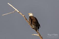 November 24, 2019 - A bald eagle keeping watch. (Tony's Takes)