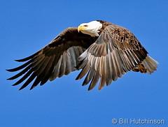 November 24, 2019 - A gorgeous bald eagle takes flight. (Bill Hutchinson)