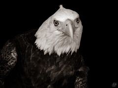 BALD EAGLE (eliewolfphotography) Tags: eagle eagles raptors raptor birds bird bnw birdsofprey bw nature naturelovers nikon naturephotography natgeo naturephotographer florida floridawildlife wildlife wildlifephotographer wildlifephotography