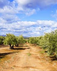 Haciendo caminos (José Luis Pérez Navarro) Tags: olivar olivos arboles trees paisaje landscape cielo sky nubes clouds camino andalucia jaen marmolejo spain naturaleza nature hdr joseluisperez photographerfreelance blacky2007 olivetree olivegrove airelibre olives countryside