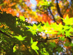 Autumn in Aichi 2019 (Jon the 写真 Machine) Tags: olympus omd em5markii em5ii em5mkii em5mk2 em5mark2 オリンパス mirrorless mirrorlesscamera microfourthirds micro43 m43 mft μft マイクロフォーサーズ ミラーレス japan 日本 nihon nippon ジャパン ジパング japón जापान japão xapón asia アジア asian orient oriental aichi 愛知 愛知県 chubu chuubu 中部 中部地方 outdoors 野外 nature 自然 plant plants 植物 flora flower flowers 花 お花 華 秋 fall autumn autumnleaves coloredleaves 紅葉 leaves 葉っぱ