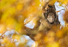 Tawny Owl (Benjamin Joseph Andrew) Tags: one lone single individual bird birdofprey raptor asleep tired sleepy resting autumn park woodland peaceful fall seasonal hidden hiding