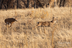 November 24, 2019 - White-tailed deer bucks chase each other. (Tony's Takes)