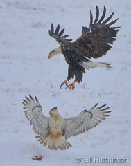 November 22, 2019 - A bald eagle and ferruginous hawk have an argument. (Bill Hutchinson)
