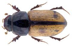 Pseudesymus lucidus Klug, 1845 (urjsa) Tags: coleoptera kaefer beetle insect aphodiidae scarabaeidae pseudesymus lucidus pseudesymuslucidus dubai taxonomy:binomial=pseudesymuslucidus taxonomy:order=coleoptera taxonomy:family=scarabaeidae taxonomy:genus=pseudesymus taxonomy:species=lucidus geo:country=dubai coleopteraus käfer insekt taxonomy:family=aphodiidae