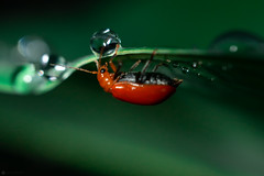Drinking from a water ball (Lr Home) Tags: ladybug redbug water waterdroplet a6000 insect insects sel30m35