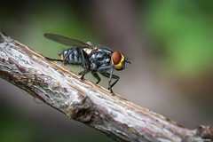Mosca (Ucachabio) Tags: nikkor18dx 35mm nikond7100 mosca fly macro closeup