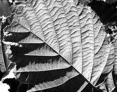 Hazel leaf......Autumn vibes in B&W. (gilberteplessers) Tags: nature macro places travel landscape wildlife nationalgeographic water shadows natgeoyourshot yourshot instagram photooftheday nikon yourshotphotographer mercedesbenz mbfanphoto photography nikonphotography photographysouls nikonbelgium nikoneurope nikonartists nikonpost lensculturetalent yourshotnatgeo natgeoyourshotourfotoworld