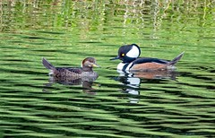 Hooded Merganser Couple (Charles Patrick Ewing) Tags: bird birds landscape landscapes outdoor nature natural lake water reflection reflections new best fave favorite faves favorites beautiful animal animals couple art artisticgreen trees sky skies all everything flickr discover find two colors colours