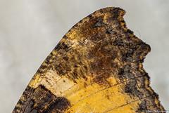Perhosen siipi, Wing of butterfly (IMG_0534PSLR) (pohjoma) Tags: hyönteinen hyönteiset nokkosperhonen perhonen päiväperhonen nymphalisurticae smalltortoiseshell wing macro siipi canoneosrp finland canonef100mmf28lmacroisusm nature wildlife insect butterfly lepidoptera