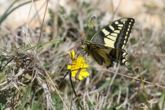 Papilio machaon (Roy Lowry) Tags: papiliomachaon swallowtail dingli butterfly