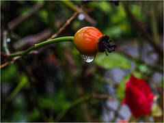 329.6 Droplet (Dominic@Caterham) Tags: bush water droplet berry