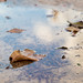 Fallen leaves in a puddle