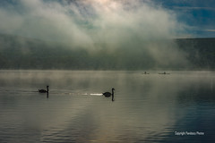 Ullswater Lake, The Lake District, Cumbria, Uk (PANDOOZY PHOTOS) Tags: swan swans pair two birds wildfowl canoe canoes canoeist men male sport boat water earlymorning mist misty lake lakes englishlakes britishlakes sunrise lakedistrict wildlife nature boats engalnd uk gb greatbritain britain unitedkingdom tranquil peaceful paddle paddles englishlakedistrict ullswaterlake cumbria ulswater nationalpark lakedistrictnationalpark aonb atmospheric autumn october countryside englishcountryside britishcountryside waterscape travel tourism peaks tranquility mountains moody hills fell fells dawn calm ullswater