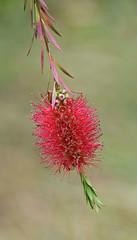 Callistemon (MJ Harbey) Tags: flower redflower callistemon eudicot rosid myrtales myrtoideae plasnewyyd wales anglesey nationaltrust nikon d3300 nikond3300