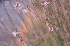 Into the wind (charhedman) Tags: flowersinnovember sunnyday prettymuchsooc flowers macro bokeh pastel amblesidebeach flowersbesidethesidewalk