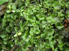 Pellia endiviifolia (EmilieAncolie) Tags: mosses moss bryophytes flora mousses hépatique flore nature biodiversité