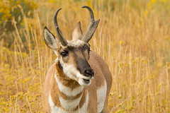 The look (ChicagoBob46) Tags: pronghornantelope antelope buck yellowstone yellowstonenationalpark nature wildlife naturethroughthelens ngc coth5 npc